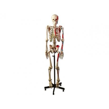 SQUELETTE HUMAIN AVEC INSERTION DES MUSCLES
