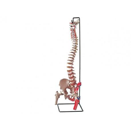 COLONNE VERTÉBRALE - avec fémurs + muscles