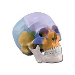 CRÂNE HUMAIN - 3 pièces - colorée