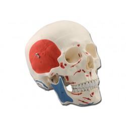 CRÂNE HUMAIN - 3 pièces - muscolaire